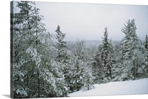 Snow covered evergreens in a winter landscape