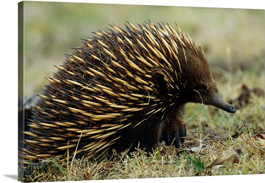 Spiny Anteater Grampians National Park Australia Wall