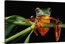 Splendid Leaf Frog, Ecuador