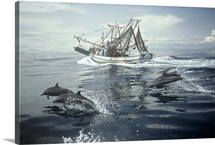 Spotted dolphins (Stenella attenuata) swim alongside a fishing boat