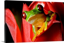 Spurrellis red eyed green tree frog perched on red ginger flower