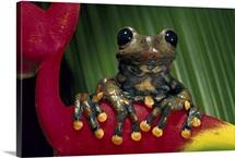 Strawberry Tree Frog, Ecuador