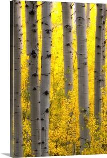 Sunlight on golden aspen tree branches among larger tree trunks