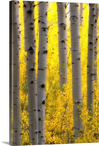 Sunlight on golden aspen tree branches among larger tree trunks Wall ...