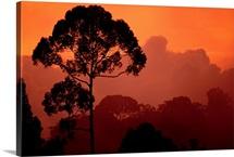 Sunset view of  endangered tree species, Sri Lanka