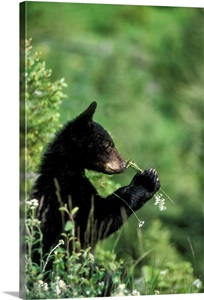 The American Black Bear Cub Sniffing Wildflowers Wall Art