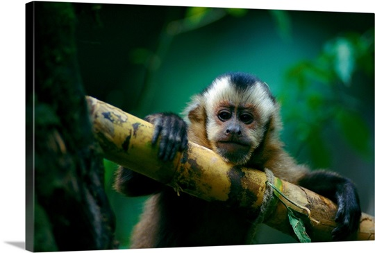 This capuchin monkey sits perched in a tree, Madidi National Park, Bolivia