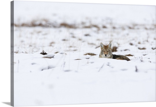 This coyote was taking a break from hunting for food in Yellowstone ...