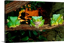 Three green frogs in a row on a branch, South America