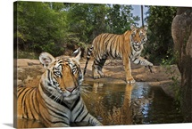 Tiger cubs playing at a waterhole in Bandhavgarh National Park