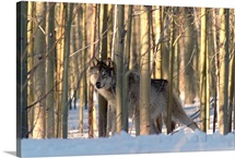 Timber Wolf camouflaged amid birch forest in winter, Colorado