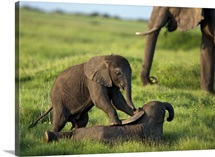 Two African elephant calves, playing near a grazing adult elephant