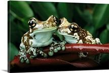 Two Amazonian milk frogs