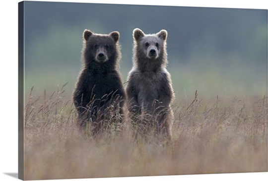 Two Brown Bear Spring Cubs Standing Side By In Curiosity Canvas