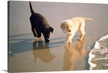 Two retriever pups at a beach, Monterey Peninsula, California