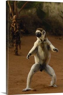 Verreaux's Sifaka hopping across open ground, Berenty Reserve, southern Madagascar