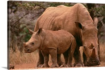 White Rhinoceros mother with calf, Lewa Wildlife Conservancy, Kenya