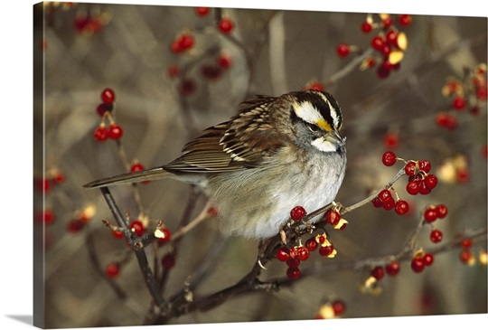 sparrow bush big and beautiful singles 7 most beautiful birds on earth by contributing writer august 2, 2010 share on facebook usually found in rainforest, coastal bush and woodland areas.