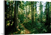 Woodland path winding through a grove of sequoia trees in Long Meadow Sequoia G rove