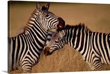 Zebra pair grooming, Masai Mara National Reserve, Kenya