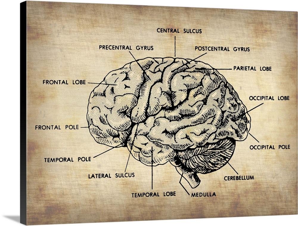 Vintage Brain Map Anatomy Wall Art Canvas Prints Framed Prints