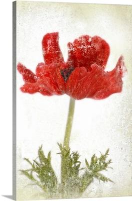Anemone Red I