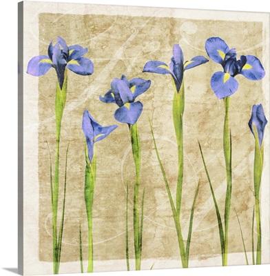 Antique Iris