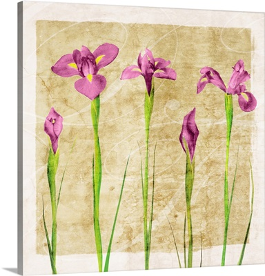 Antique Iris Pink