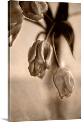 Black and White Sepia Tulip Series