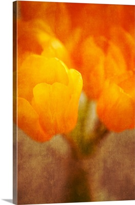 Black and White Sepia Tulip Series
