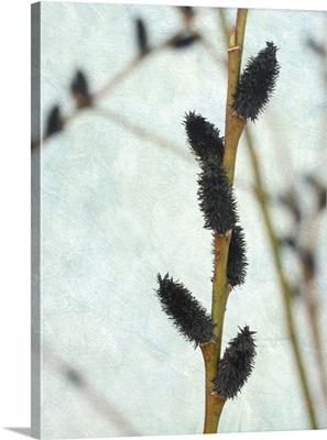 Black Pussy Willow II