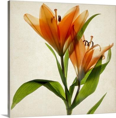 Bright Lily A