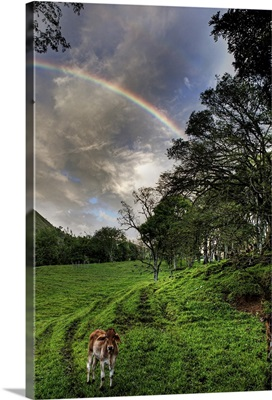 Calf with Green field and Rainbow