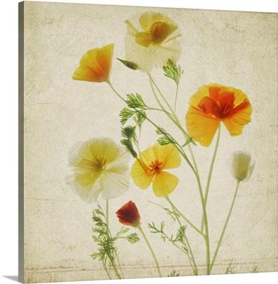 California Poppy Garden