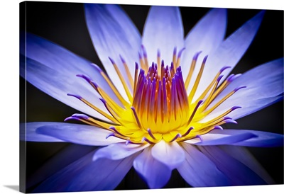Colourful Waterlily