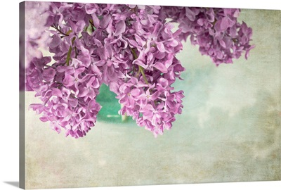 Dark Lilacs