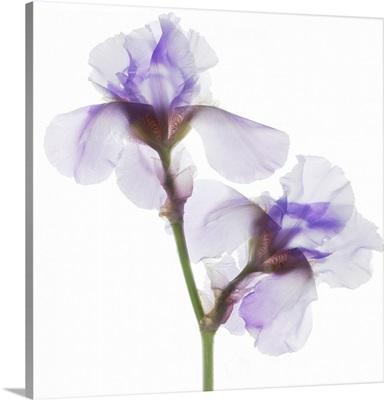 Grape Iris