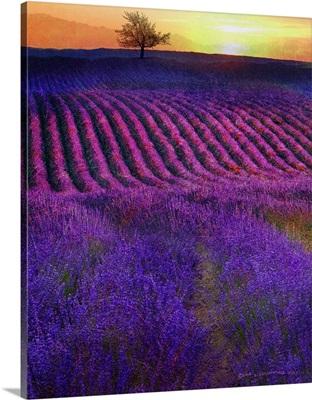 High Summer Lavenders