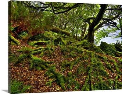 Ireland Killarney Moss Roots National Park