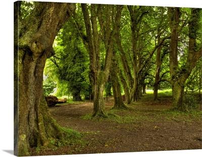 Ireland Killarney National Park Yew Trees