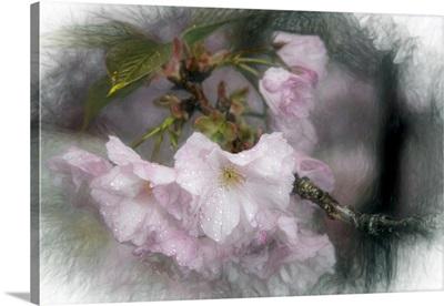 Japanese Flowering Cherry Blossoms