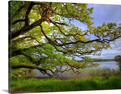 Killarney National Park, Oak Tree
