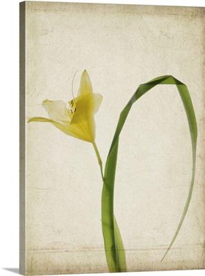 Lemon Lily I