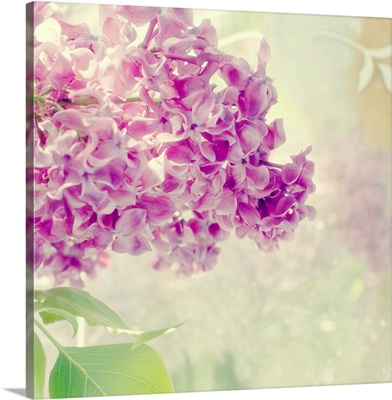 Lilac Reflection