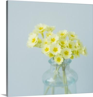 Little Bouquet Primrose