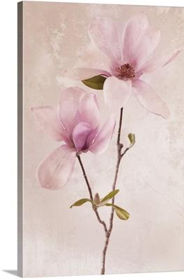 Magnolia Jane Blossoms