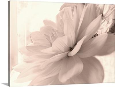 Pink Dahlia I