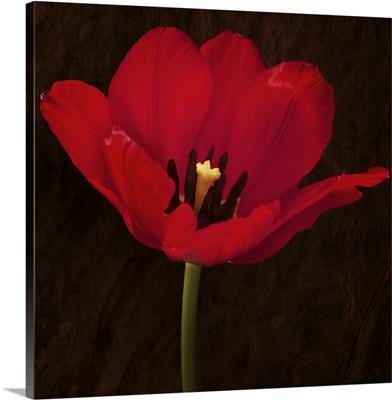 Poppy Blossom I