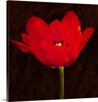 Poppy Blossom II