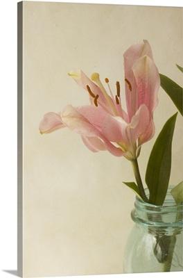 Soft Lily